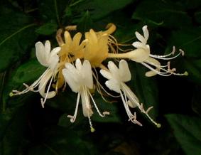 photo honeysuckle flowers